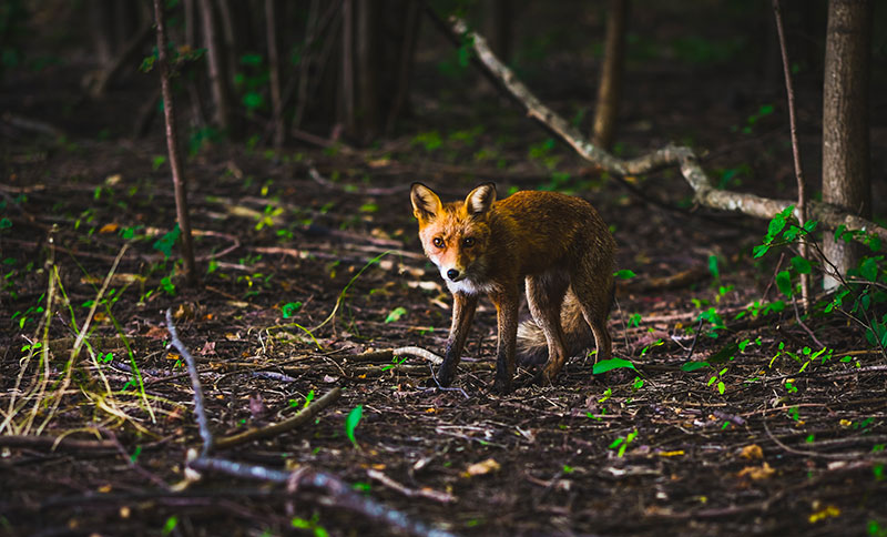 camera de chasse 4g renard